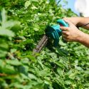 How To Maintain Your Hedges